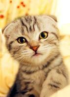 苏格兰折耳猫百科