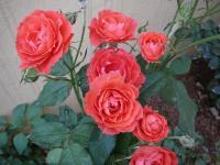 中国十大名花之一——月季花