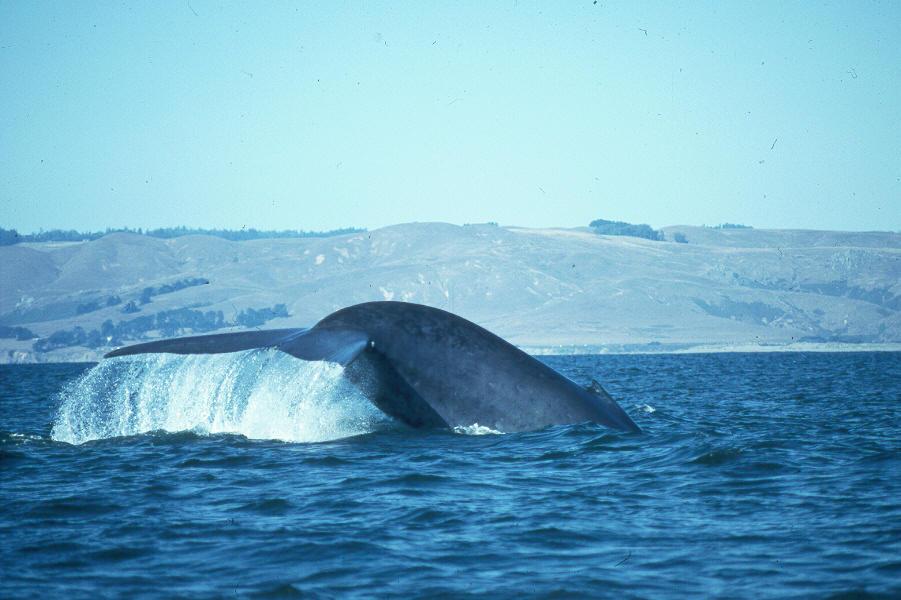 鲸鱼图片世界上最大的鲸鱼 最大的鲸鱼蓝鲸图片