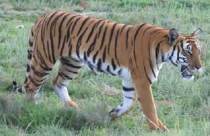将华南虎放出牢笼,进行有效的繁育,使濒临灭绝的华南虎种群数量,野化
