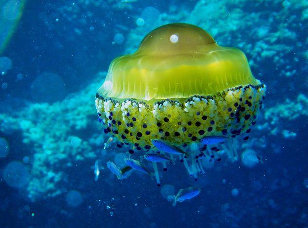 【百度百科】:蛋黄水母