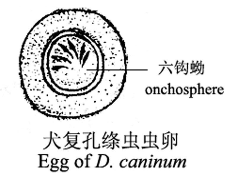 带绦虫虫卵 猪带绦虫的虫卵 绦虫虫卵图片图片
