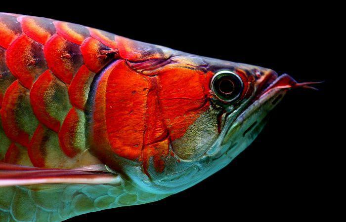 辣椒红龙鱼_辣椒红龙有鲜红的鳃盖印及鳞框,均以鲜红外缘为主,各鳍也都是红色