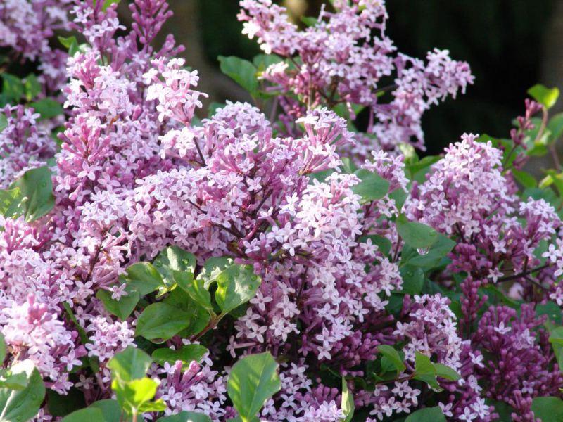 紫丁香绿化苗木丁香v丁香医生(图)下载花卉种子图片