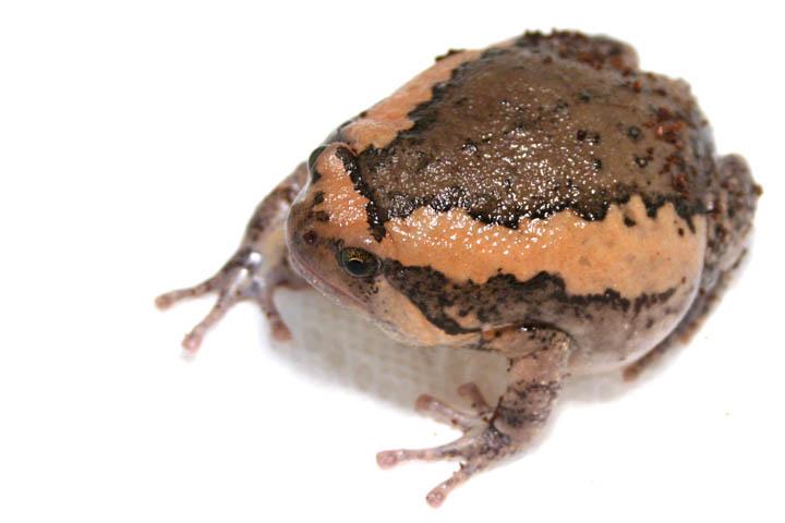 亚洲锦蛙_搜索结果_亚洲锦蛙