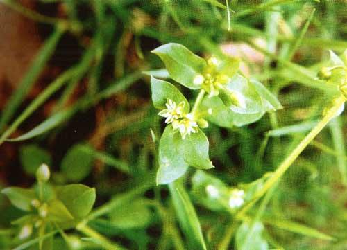 繁缕——鹅儿草