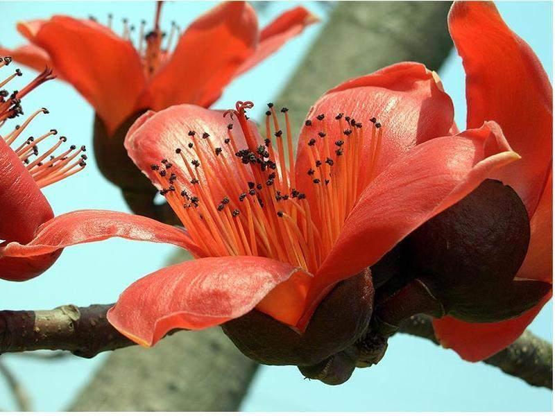 木棉花图片