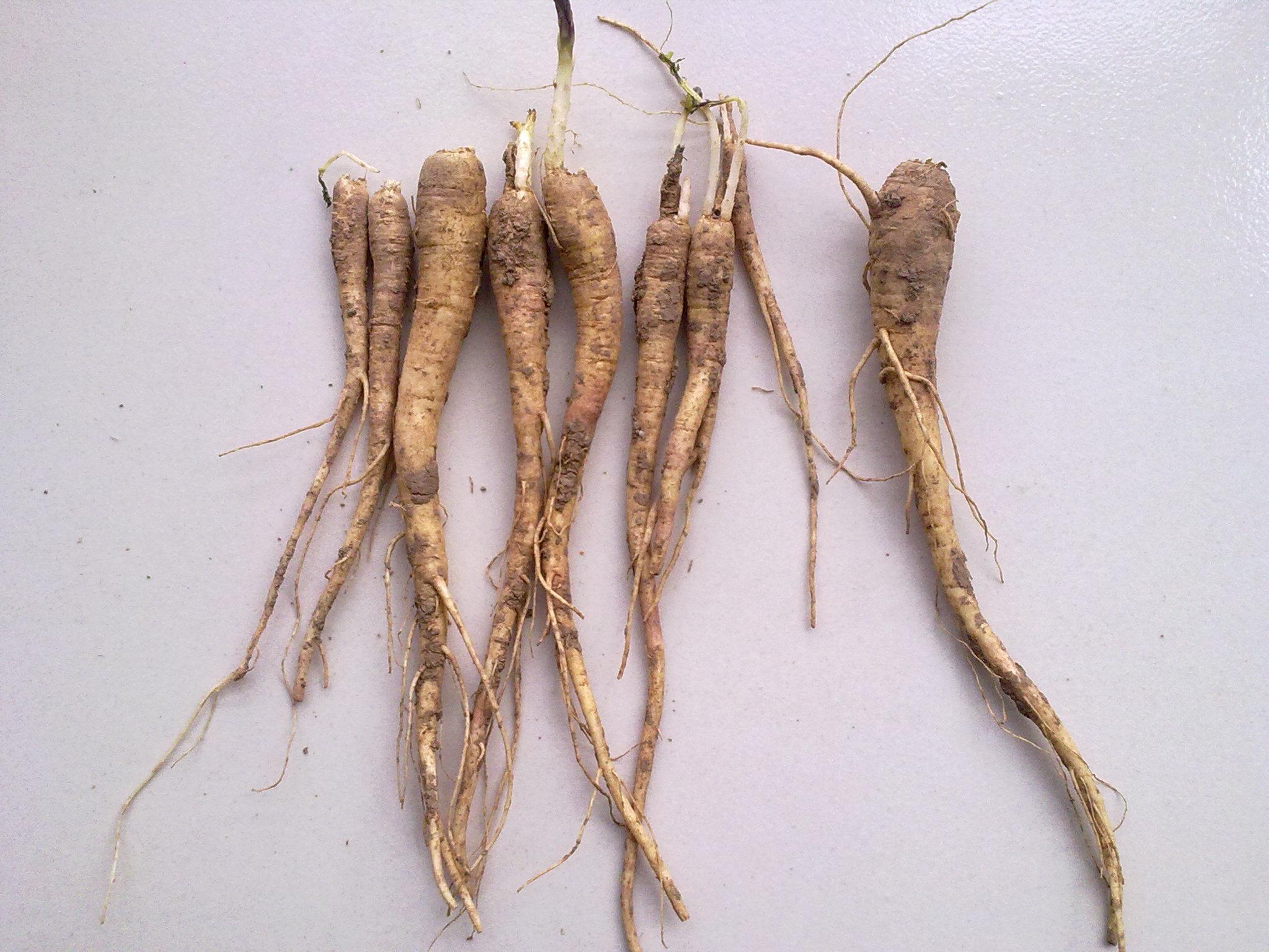 桔梗花的根