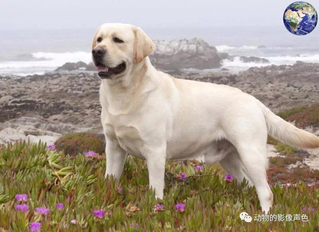 世界十大猎犬排行榜第一位,这真的是最理想的人类奴仆