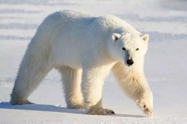 北极熊和阿拉斯加(科迪亚克)动物,谁是最大的陆地食肉棕熊?沙神蜥蜴的功效图片