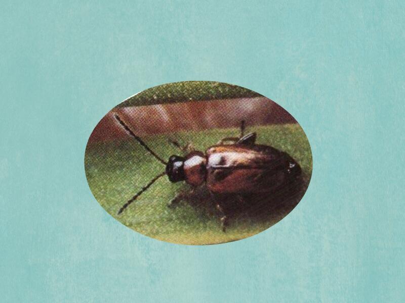 葱黄寡毛条甲,名作作luperomorphasururalischen,英文学名onion六月黄河蟹的来历图片