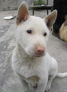 麻江县畜牧水产局估计,麻江县纯种的下司犬仅有270只左右.