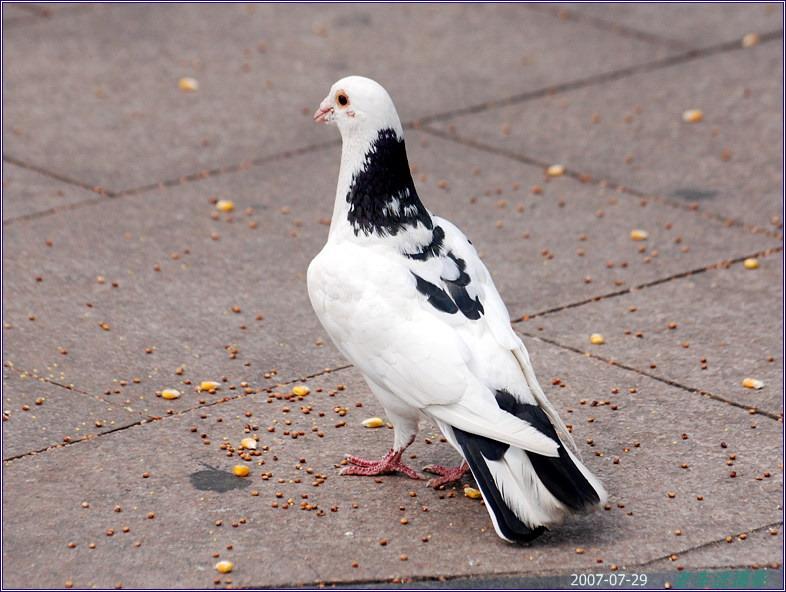 恐龙;;街鸽;鸽蛋乳鸽鸽子蛋图片鸽子v恐龙图片