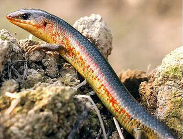 黄纹石龙子(学名:eumeces capito)为石龙子科石龙子属的爬行动物