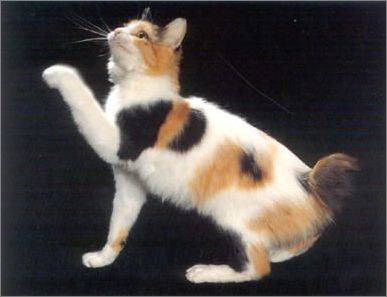 日本短尾猫美图欣赏
