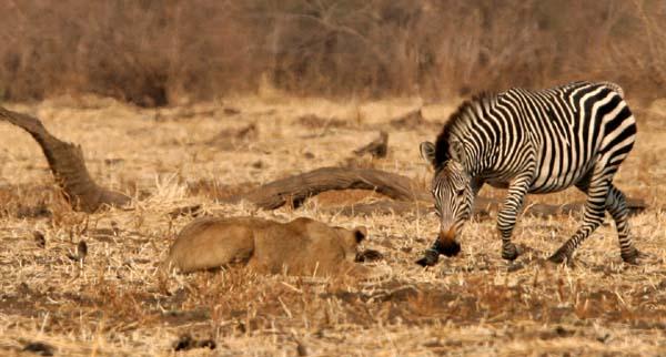 鬣狗活吃视频