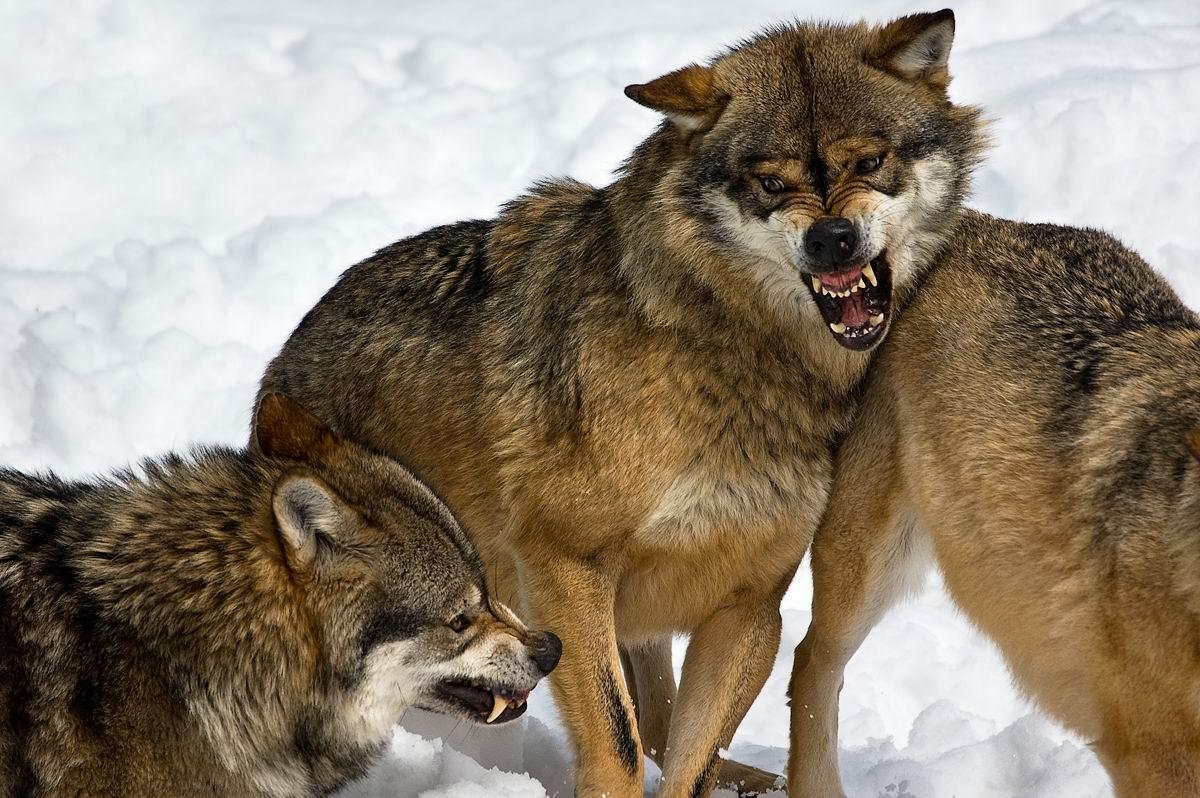 壁纸 动物 宽屏 狼 桌面 1200_798图片