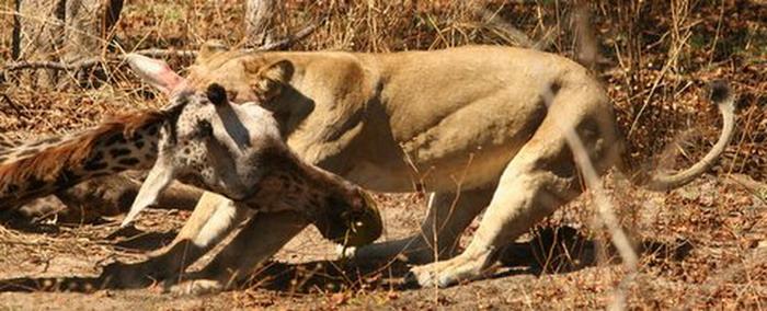 长颈鹿踢死骄傲的狮子