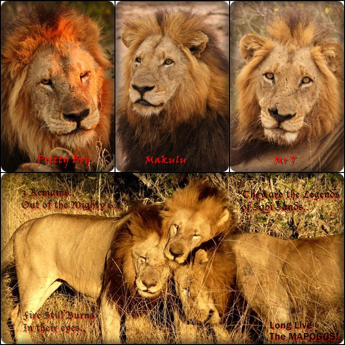 坏男孩雄狮联盟_狮中之王--恩格拉拉里克的故事(转自百度狮子吧)