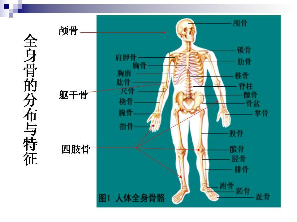 人体骨头分布图_人体骨骼图解大全