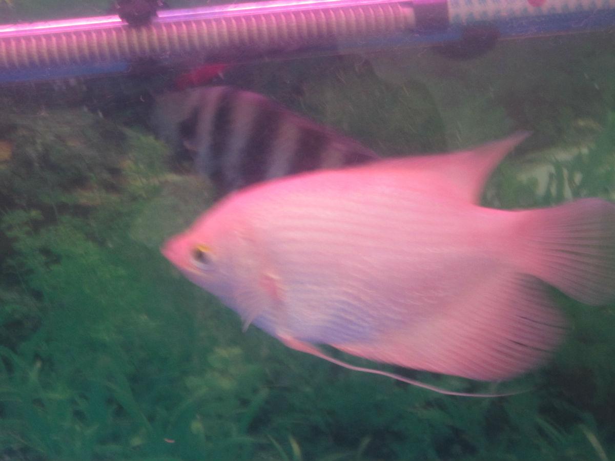 晒晒我的招财鱼 热带鱼吧 百度贴吧 高清图片