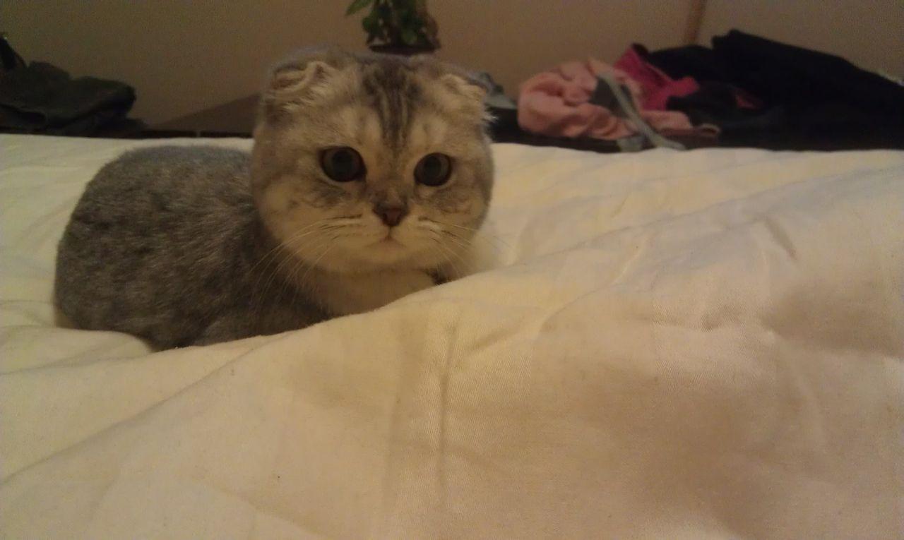我们家的包子脸~_折耳猫吧图片