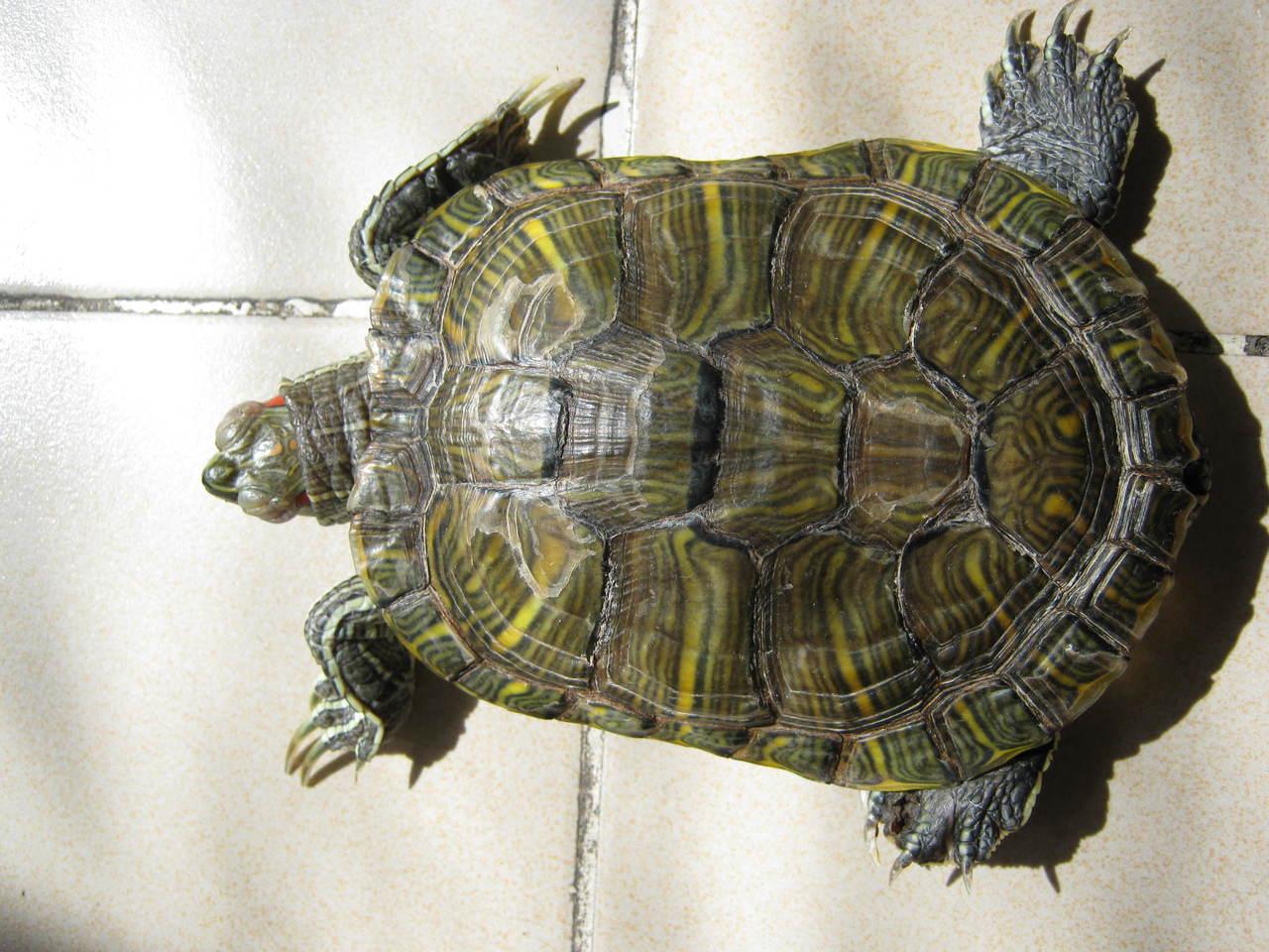 巴西龟白眼病怎么治 巴西龟白眼病怎么办 巴西龟白眼病治不好