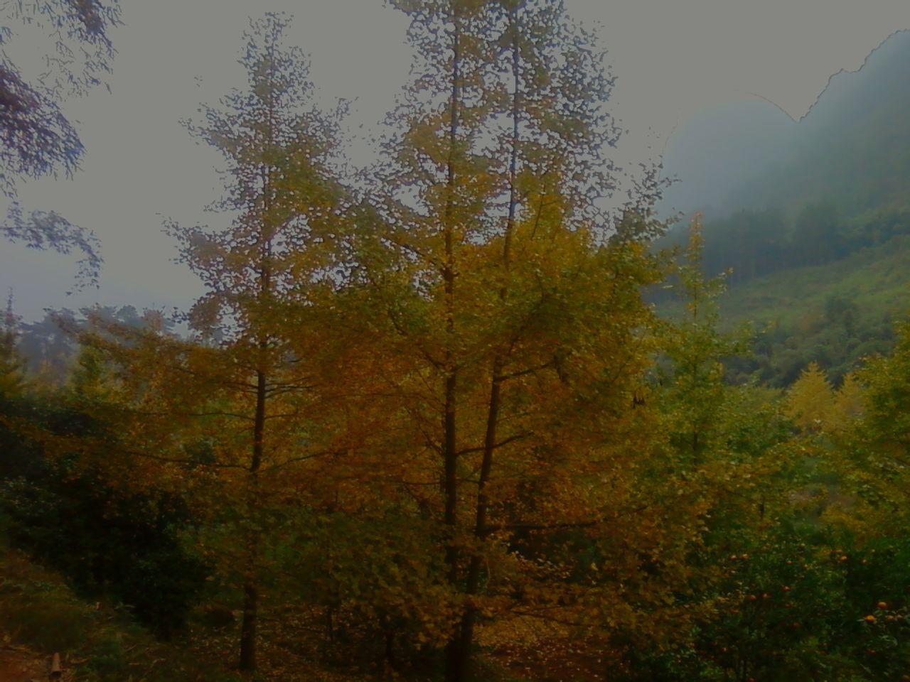 银杏 树叶 绿色 绿叶 摄影 72dpi   银杏树叶 银杏树 树