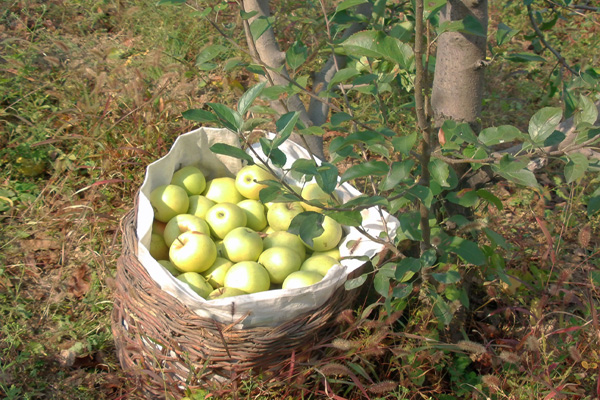 关于秋天果园的图画图片大全 水果图片 秋天的果园图片图片