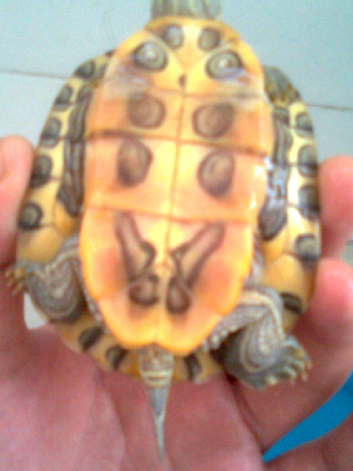怎样辨别巴西龟公母 巴西龟公母辨别图片 巴西龟怎么辨别公母图片