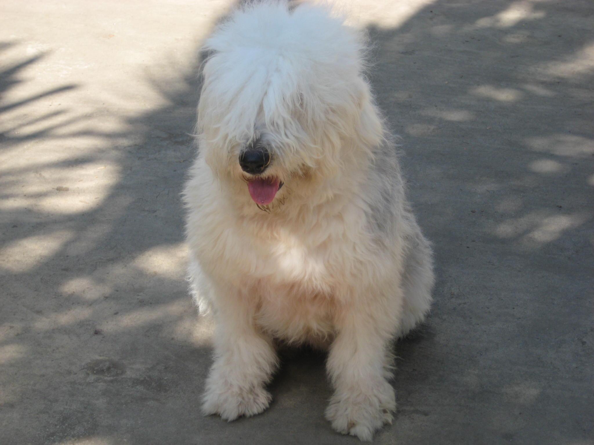 (广告)出售两个月的古牧狗狗图片