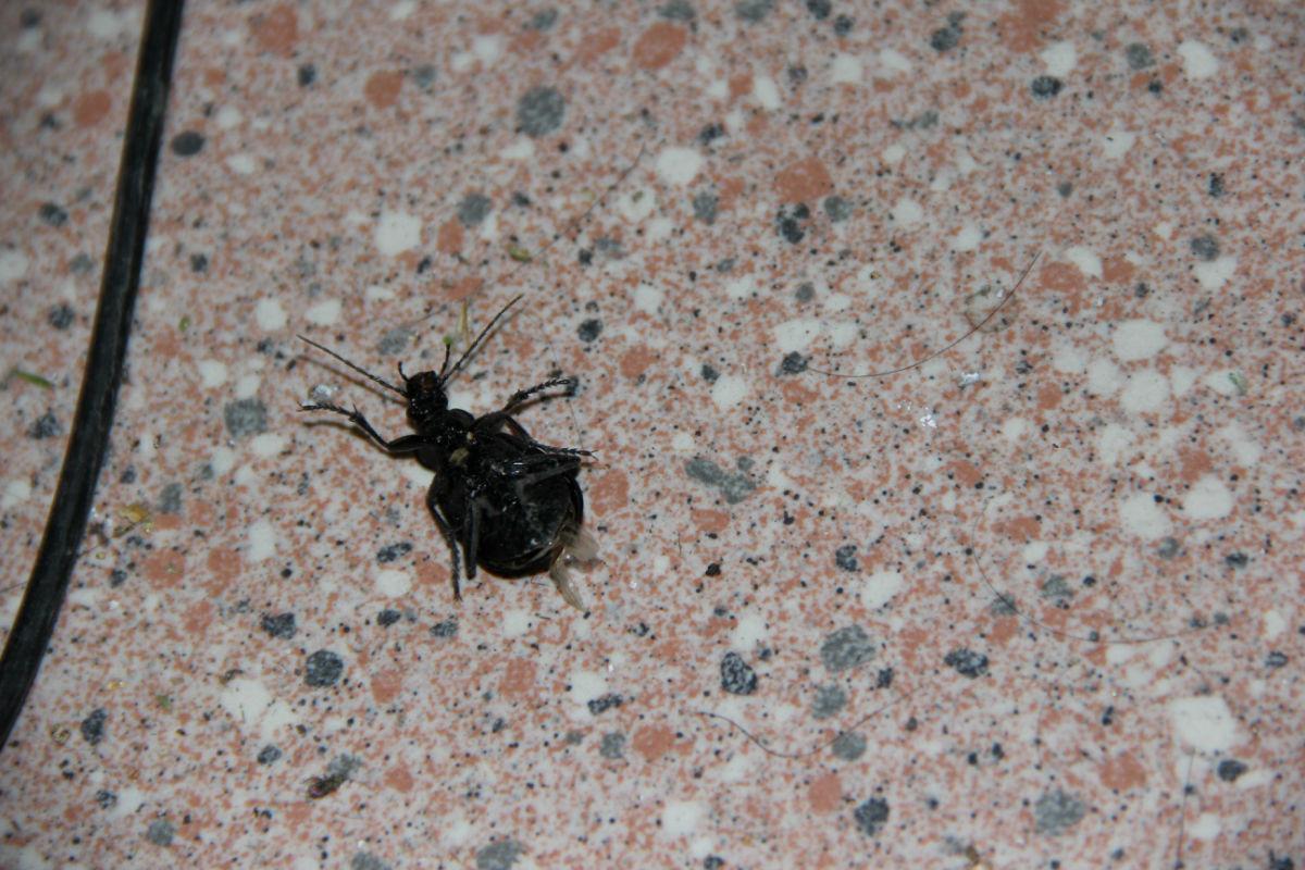 大黑虫子 竟然飞到我家来了