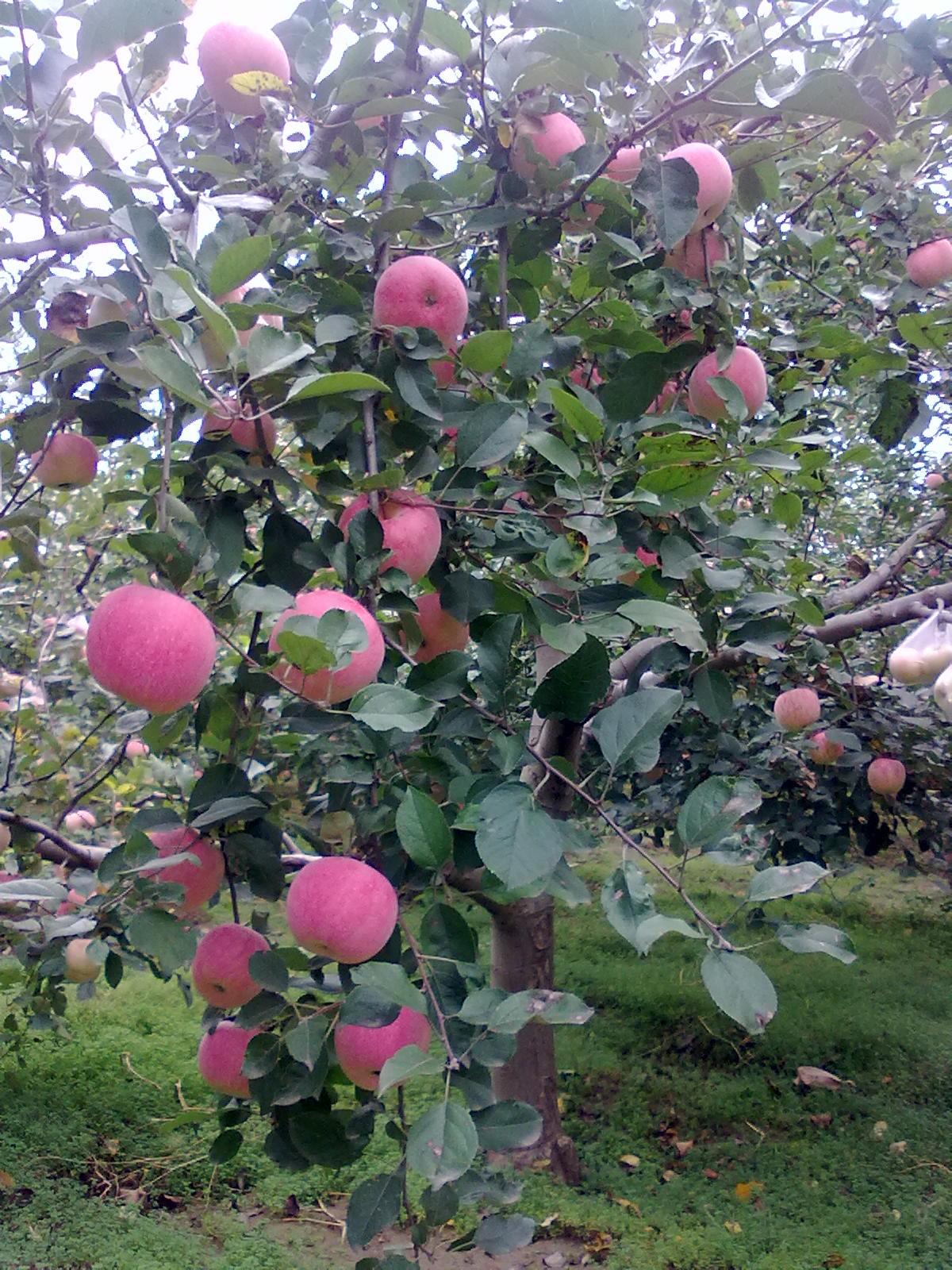 我家苹果_宁苹果吧_百度贴吧