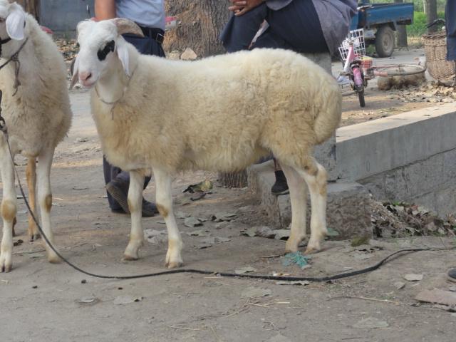 羊与人配种图片大全_公羊和母羊配种图片_公羊和 ...