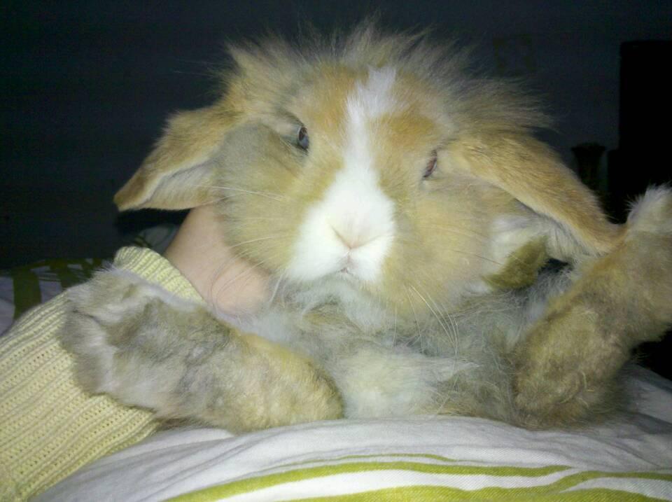 怎么分辨公兔母兔高清 兔子公母分辨图解图片