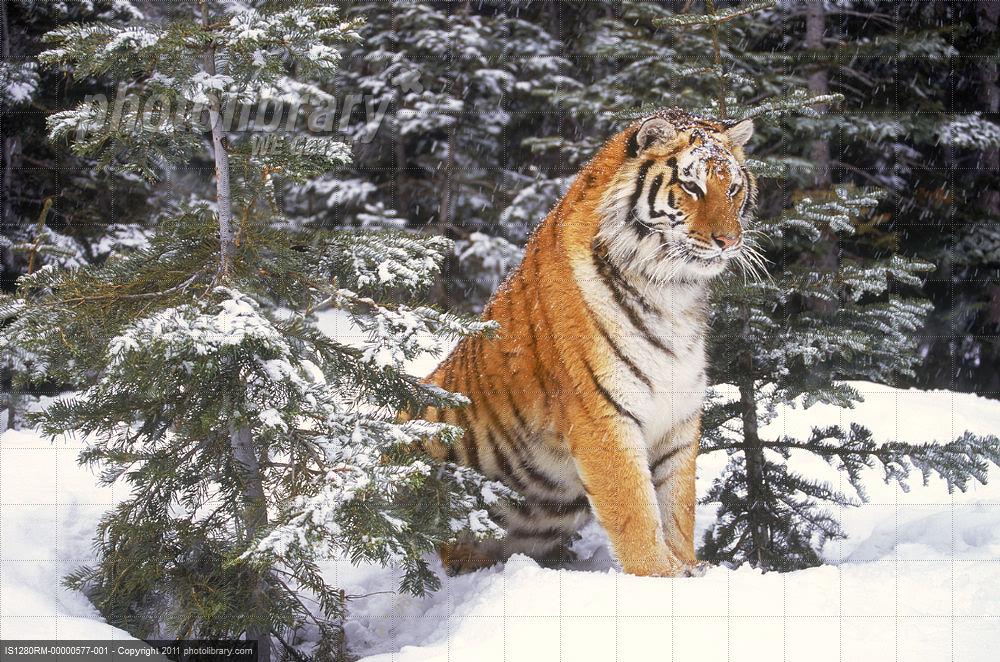 西伯利亚虎 史上最大的西伯利亚虎 西伯利亚虎对群狼 西伯利亚虎视频图片