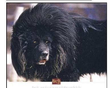 pk藏獒,鬼獒pk藏獒视频   比特藏獒打架视频,藏獒和狮子打架高清图片
