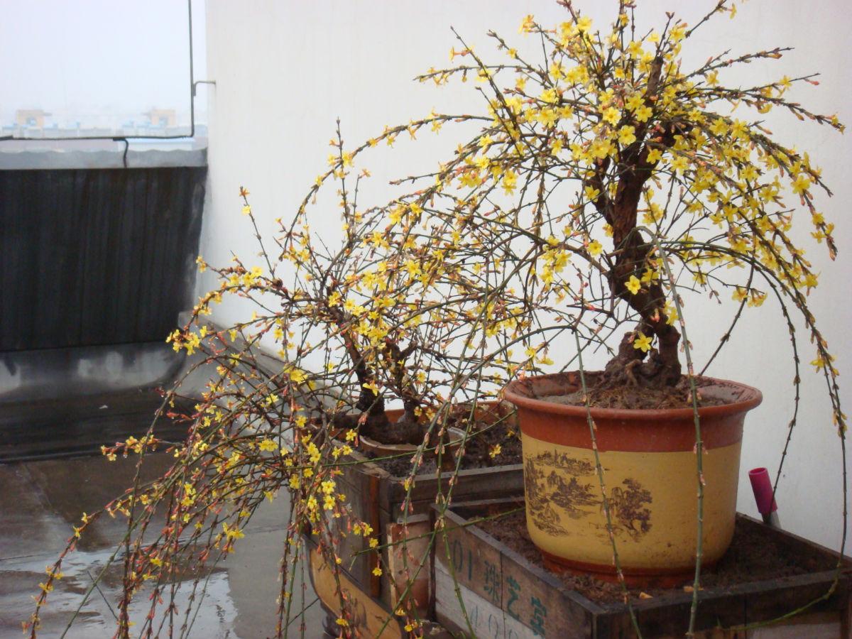 请提宝贵意见_迎春盆景吧图片