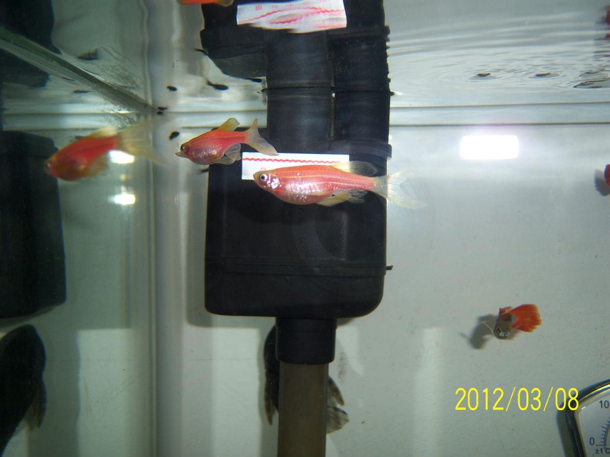 963942191_玛丽鱼生小鱼前兆_玛丽生小鱼前图片黑玛丽鱼生小 ...