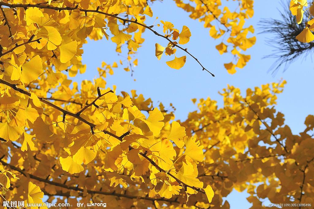 天 树叶图片 银杏树
