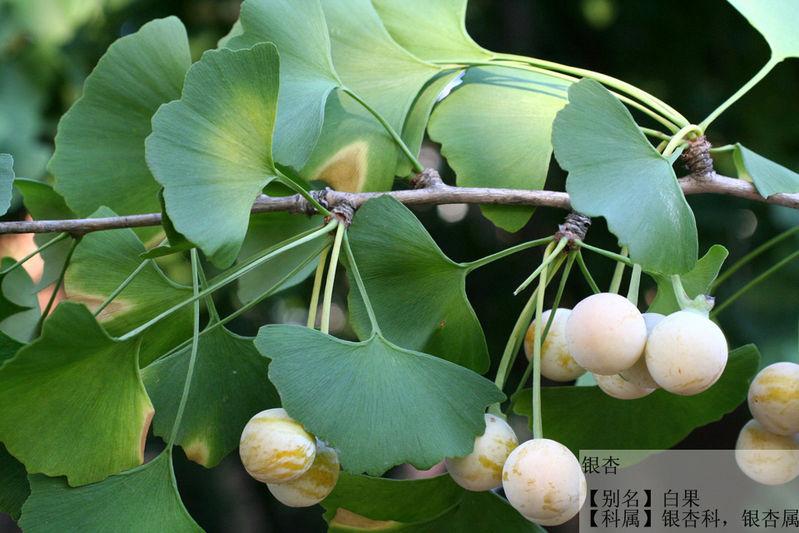 银杏是非常古老的树种,植物界的活化石,叶子的形状很美,各季节