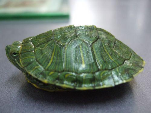 乌龟睡觉的样子图片大全 乌龟睡觉的样子 见过没