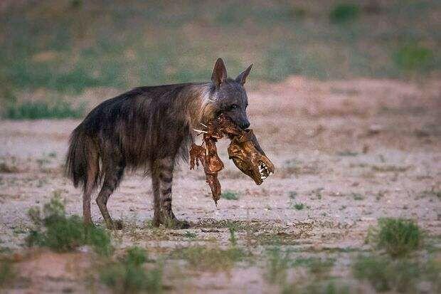 狮子杀长颈鹿视频播放