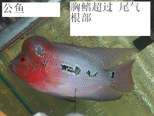 罗汉鱼如何分公母 罗汉鱼公母对比图片 罗汉鱼公母分辨图图片