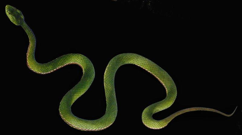 中国水蛇enhydris chinensis
