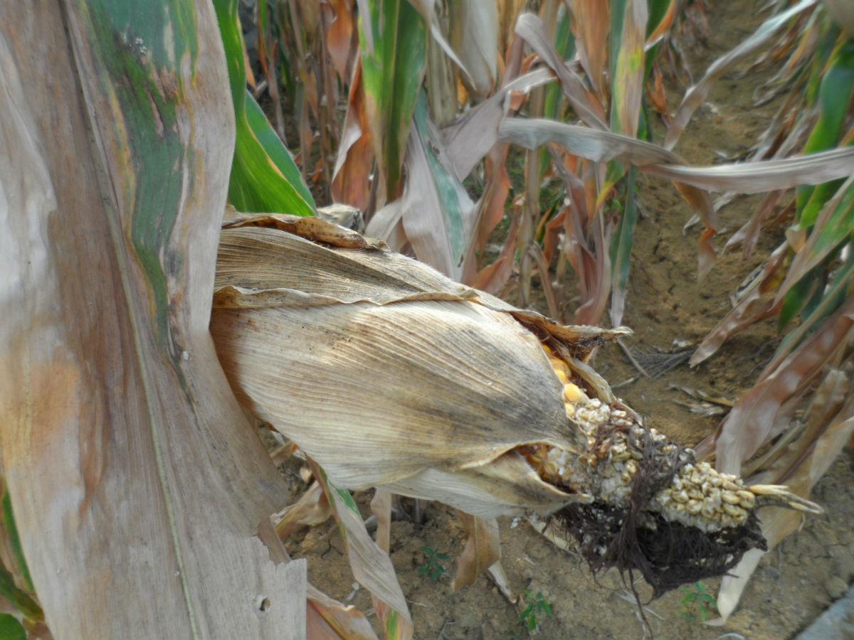 玉米的时候,农民们扳完玉米后通常会割掉玉米梗,然后堆在一起高清图片