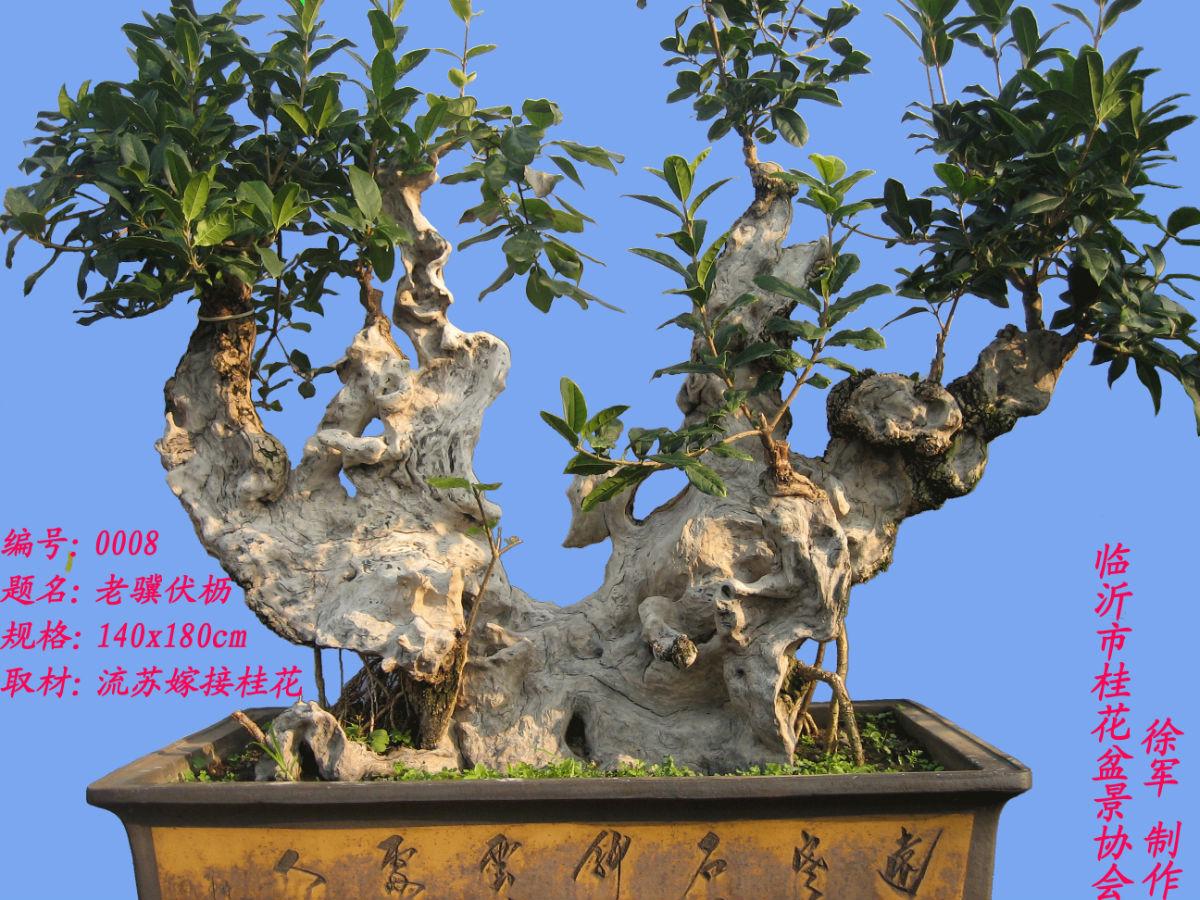 中国桂花盆景图片高清图片