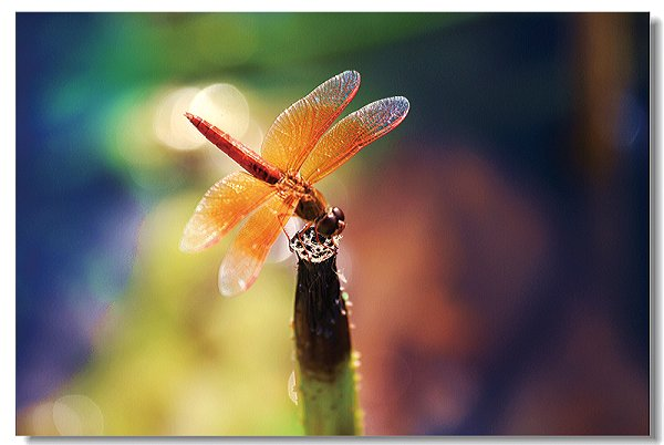 那只蜻蜓图片