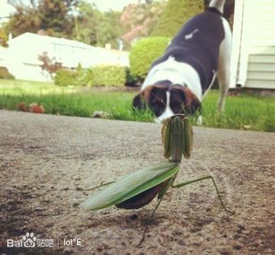 狗头巧遇螳螂,谁能胜 lol吧 百度贴吧 高清图片