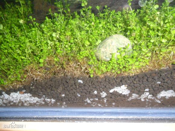 买的一整块的矮珍珠草皮,一直没见冒泡,还有点腐叶了?鱼在高清图片